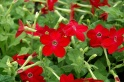 Deep rose flowering tobacco plant